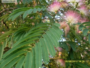 Albizia julibrissin frunze si flori