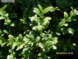 Buxus sempervirens - frunze
