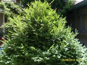 Buxus sempervirens - Cimisir
