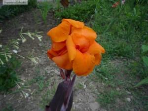 Canna indica floare