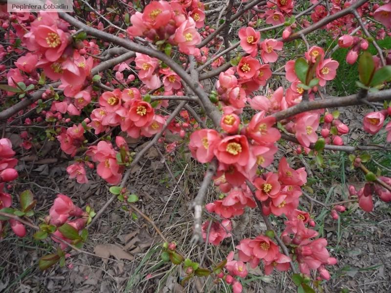 Chaenomeles japonica gutui japonez pepiniera cobadin for Arbusti ornamentali