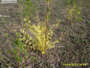 Forsythia suspensa - Forsitia