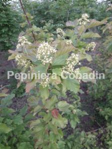 Acer tataricum flori