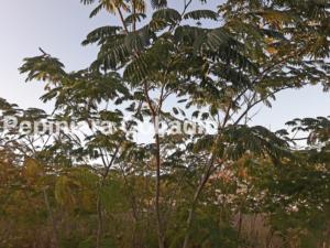 Albizia julibrissin in pepiniera