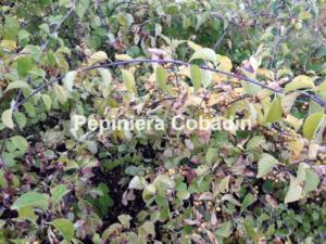 Celastrus articulata