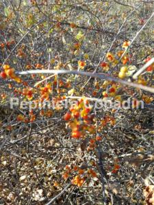Celastrus articulata fructe