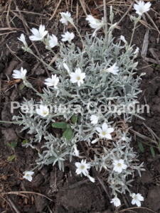 Cerstium tomentosum flori