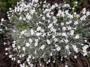 Cerstium tomentosum inflorit