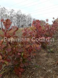 Cotinus coggygria Scumpia