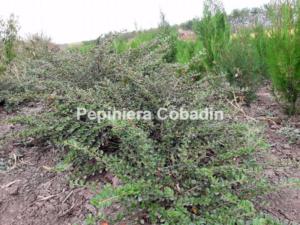 Cotoneaster vara