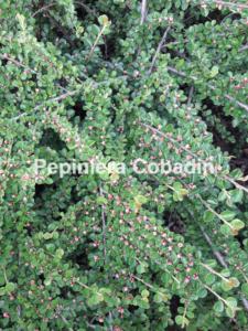 Cotoneaster in pepiniera