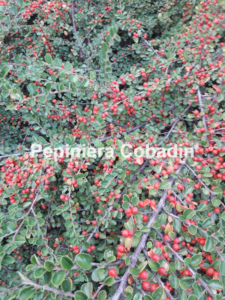Cotoneaster fructe