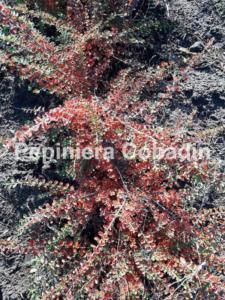 Cotoneaster toamna