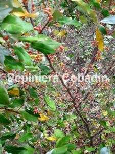 Elaeagnus fructe
