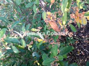 Elaeagnus multiflora fructe