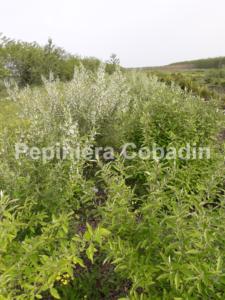 Elaeagnus multiflora in pepiniera