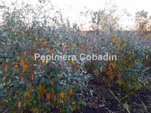 Elaeagnus multiflora toamna