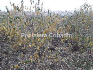 Elaeagnus multiflora toamna in pepiniera