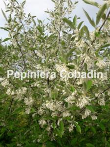 Eleaegnus - flori