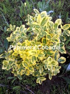 Euonimus fortunei Emerald Gold