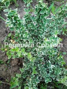 Euonymus fortunei in pepiniera