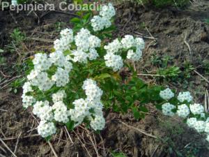 Floarea miresei 2015