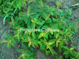 Hypericum calycinum pepiniera