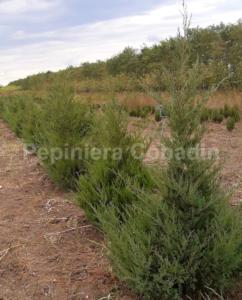 Juniperus Virginiana vara