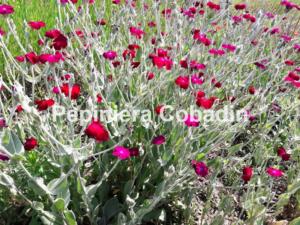 Lychnis Coronaria flori