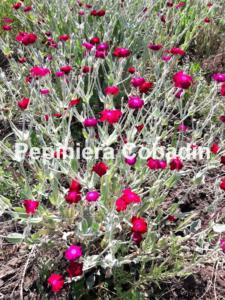 Lychnis Coronaria pepiniera