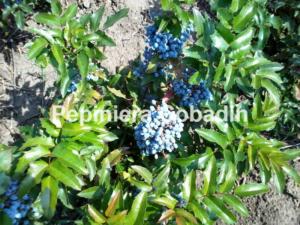 Mahonia aquifolium fructe
