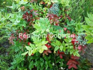 Mahonia fructe