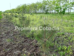 Pinus nigra in pepiniera