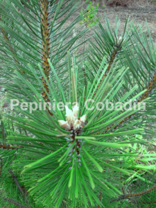 Pinus nigra ace
