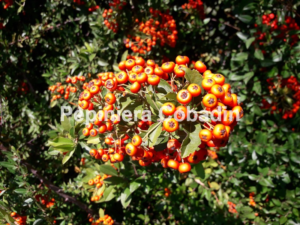 Pyracantha fructe