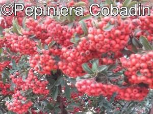 Pyrachanta fructe