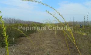 Salix babylonica in pepiniera