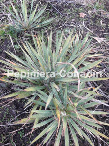Yucca in pepiniera