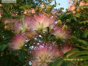 Flori de Albizia julibrissin