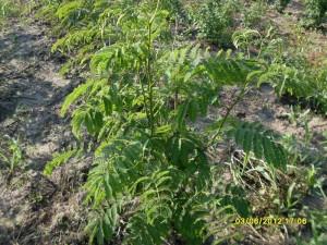 Albizia julibrissin - Arborele de matase