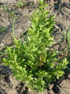 Buxus sempervirens din Pepiniera Cobadin