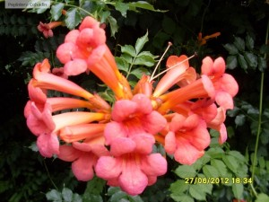 Floare de campsis radicans