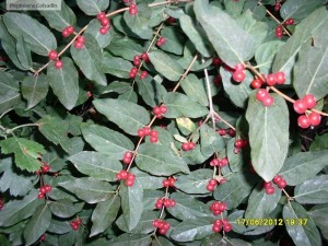 Fructe rosii de lonicera tatarica
