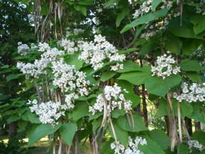 Catalpa bignonioides cu flori si fructe