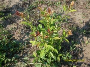 Chaenomeles japonica - Gutui japonez