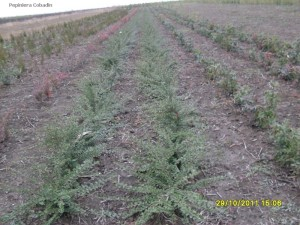 Cotoneaster horizontalis in pepiniera