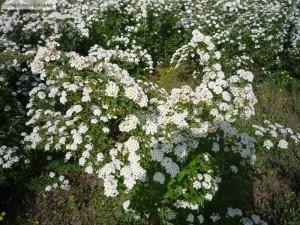Floarea miresei - Spiraea vanhouttei