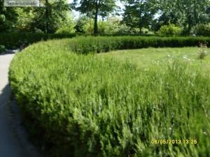 Gard viu de thuja orientalis