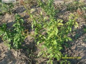 Gutui japonez - Chaenomeles japonica