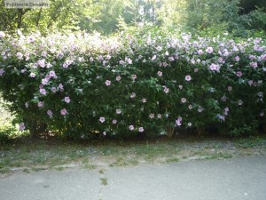 Gard viu de hibiscus